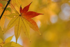 autumn_leaf_closeup_1301_l