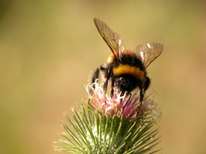 bumble_insect_thistle_278490_h